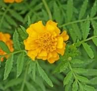 Reconnaître les plantes au feuillage semblable pour ne pas les arracher.