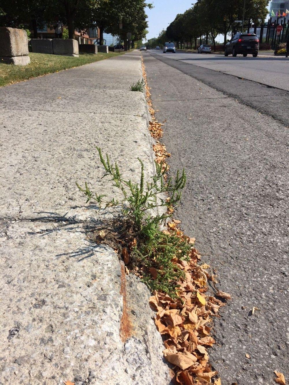 Quand on ramasse la neige, on recueille aussi les graines des plants qu'on a laissé pousser entre l'asphalte et le trottoir.